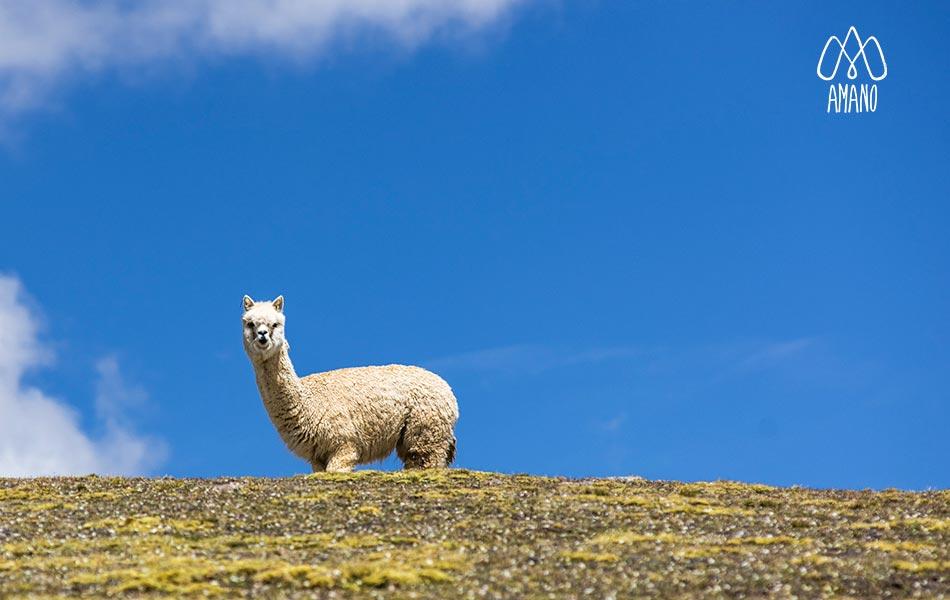 alpaca sierra